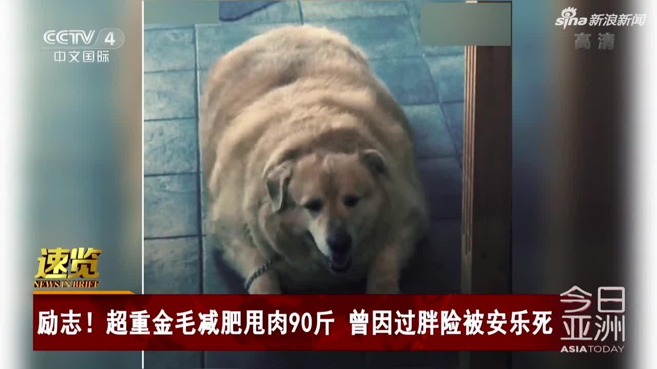 视频-超重金毛减肥甩肉90斤 曾因过胖险被安乐死