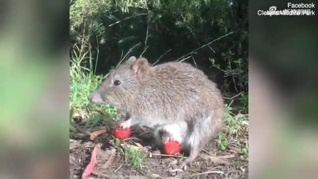视频-可可爱极了!长鼻袋鼠宝宝偷偷探出育儿袋吃草
