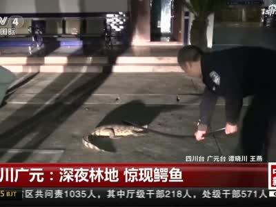 《中国新闻》四川广元:深夜林地  惊现鳄鱼