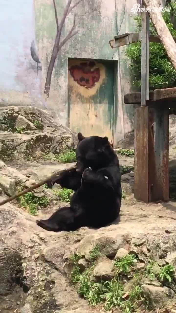 """视频:日本""""功夫黑熊""""耍棍棒 屡次被敲头仍不放弃"""