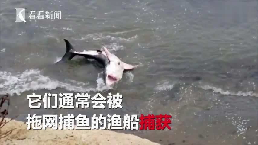 """视频-触目惊心!惨遭渔民""""割鳍""""扔回大海 上百条"""