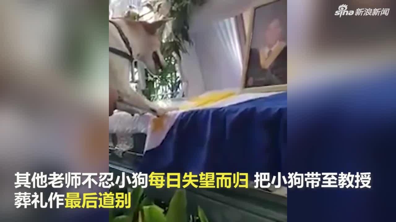 视频|不知人类好友已去世 小狗守在教室外期盼见病