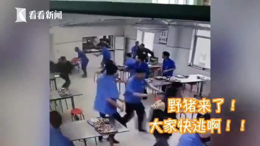 视频-野猪饭点闯进食堂 员工吓得跳上餐桌紧贴墙壁