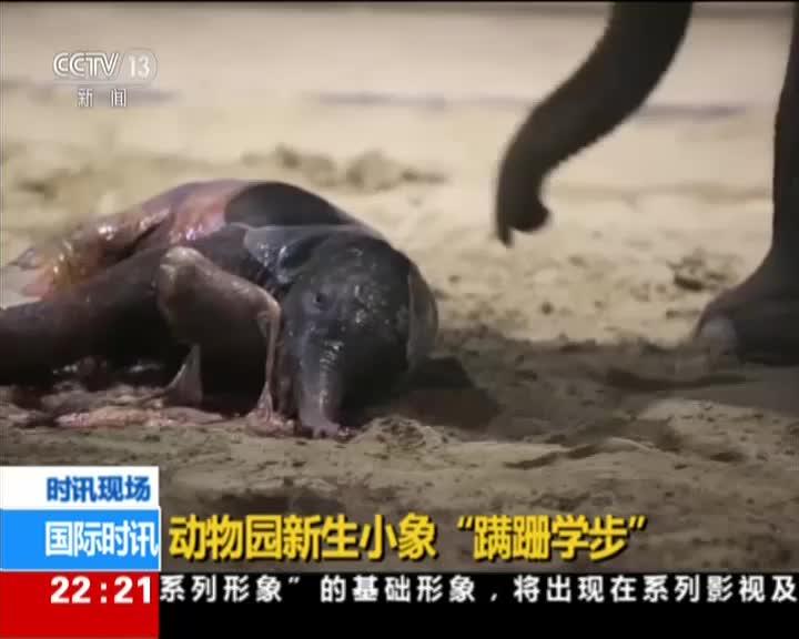 """视频:萌化了!新生小象""""蹒跚学步"""" 一步一个跟头"""