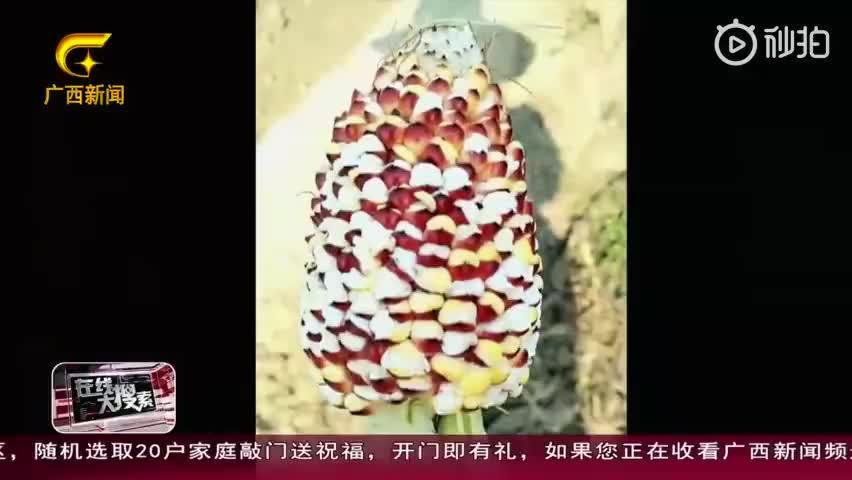 视频-高温把玉米晒成爆米花?专家辟谣