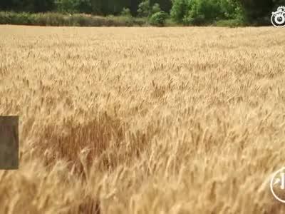 少林寺收麦啦 今年150亩小麦 产量预计不低于10万斤