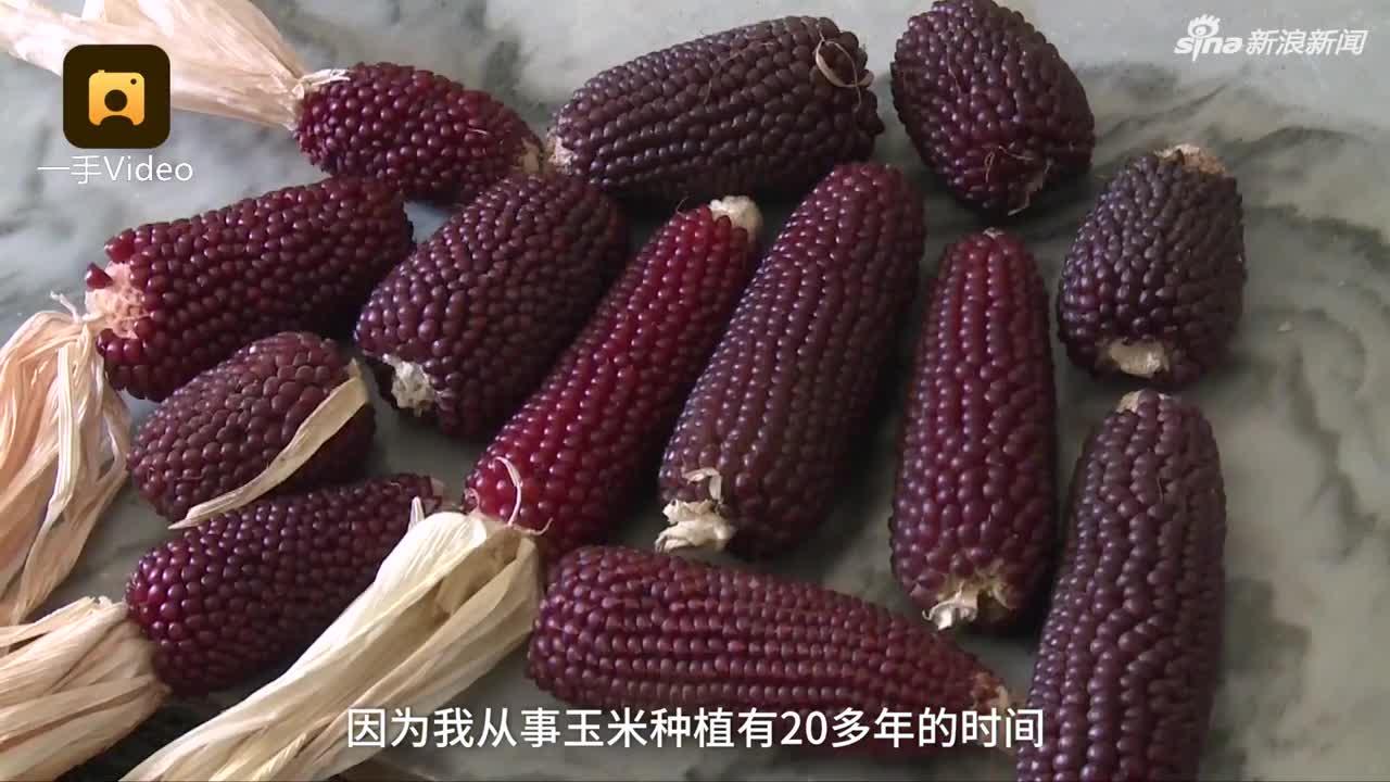 视频-云南玉米晒成爆米花?专家辟谣:因为品种特性
