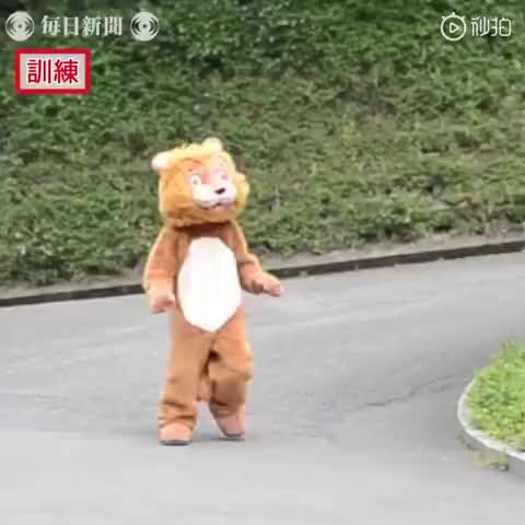 视频:动物园举行假狮子逃跑演习 真狮子的表情亮了