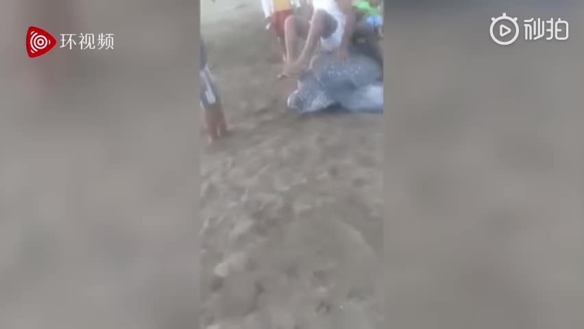 视频:濒危物种棱皮龟海滩产卵 被当地人轮流骑坐