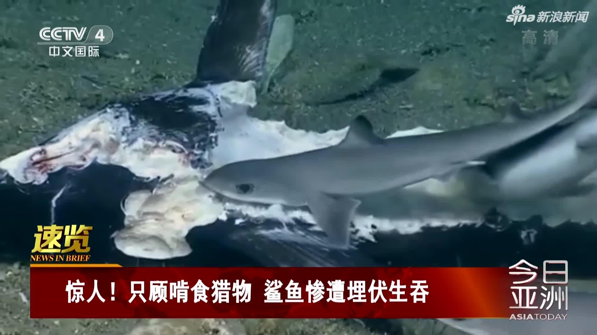 视频-只顾啃食猎物  鲨鱼惨遭大鱼埋伏被生吞