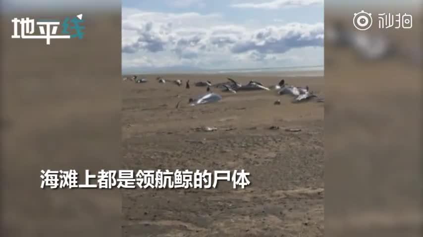 视频-冰岛海滩现50具鲸鱼尸体 乘客直升机上拍下