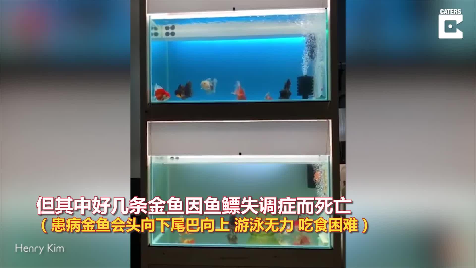 视频-金鱼患上鱼鳔失调症无力游泳 设计师为它打造