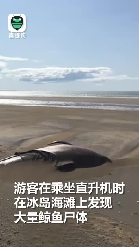 视频:画面揪心!50头领航鲸集体搁浅冰岛沙滩 尸