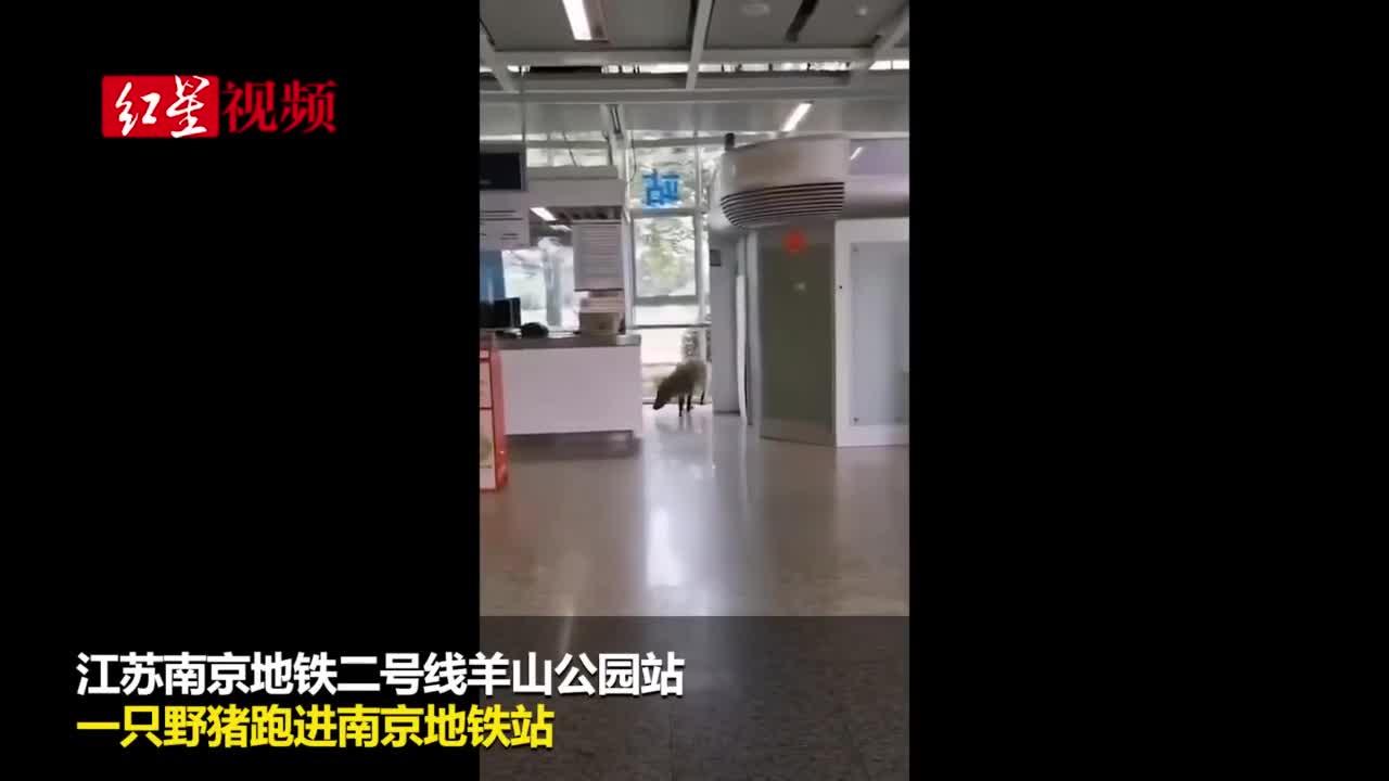 视频-野猪闯入南京地铁站 工作人员:生态环境好