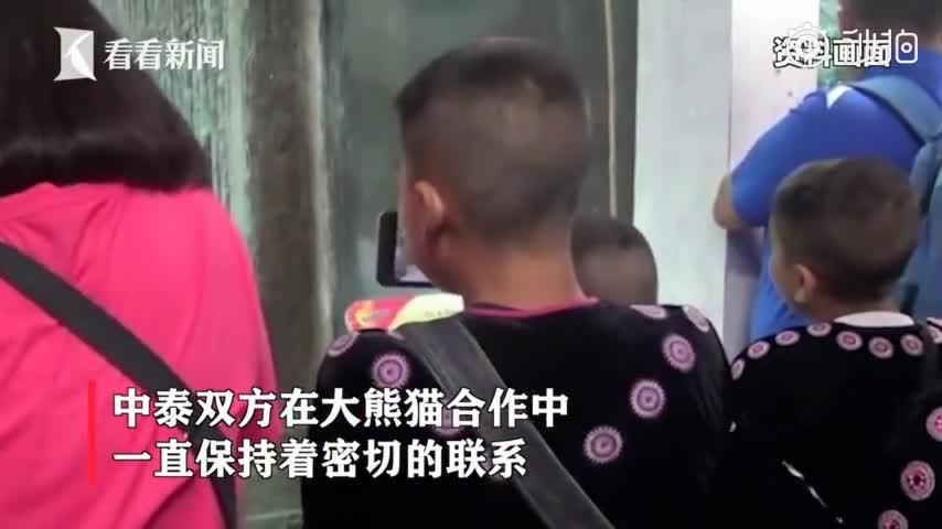 视频-疑似噎死? 19岁旅泰大熊猫创创死因有待调