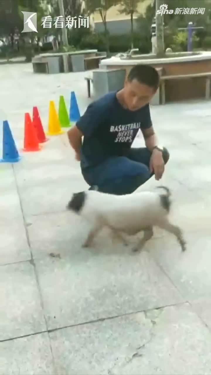 视频-4个月大香猪多才多艺 会玩滑板会跨栏