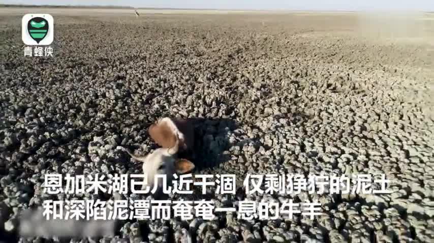 视频-令人窒息!非洲恩加米湖即将干涸 数百头牛马