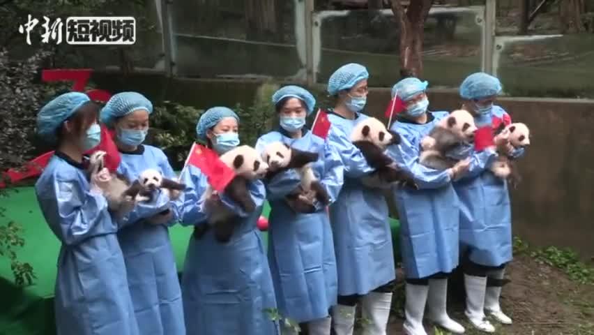视频-萌翻!成都7只新生大熊猫集体亮相