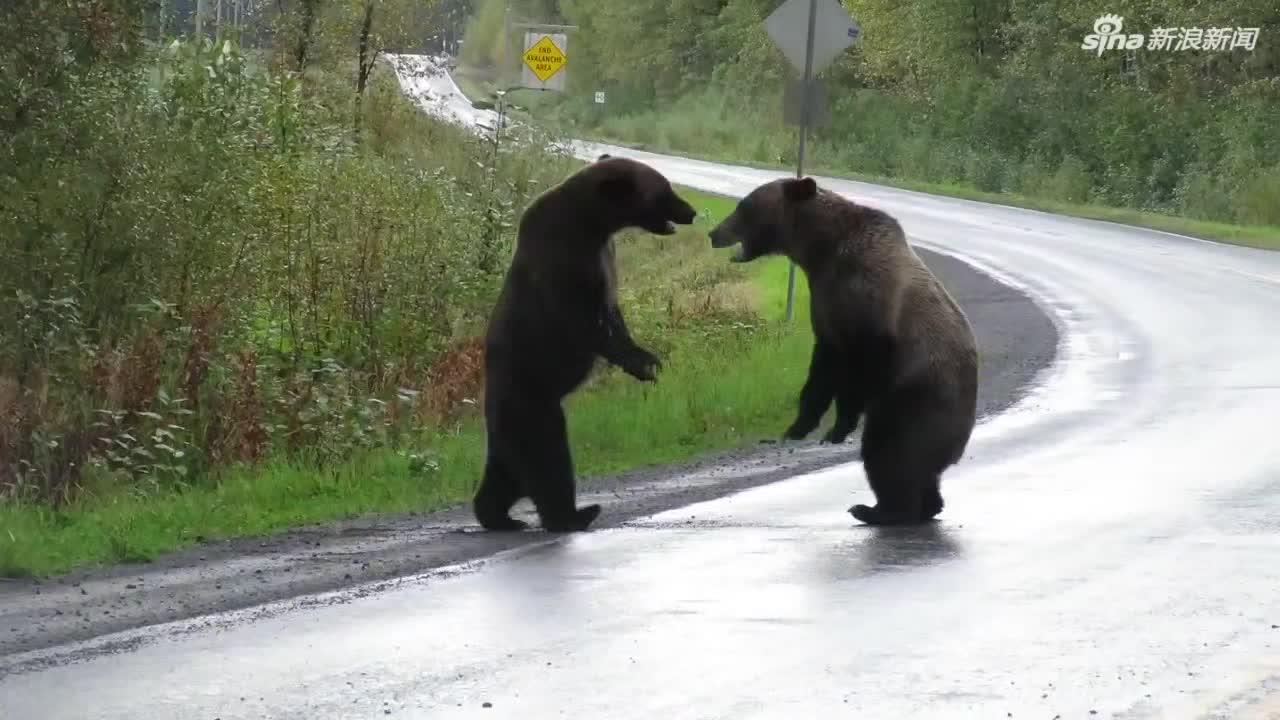 视频:两头灰熊马路上直立打架 远处孤狼观战