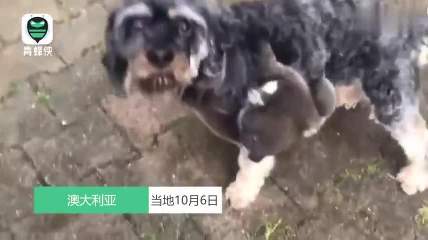 视频-无辜的狗子喜当妈!考拉将雪纳瑞误当做妈妈