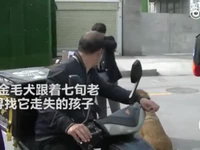 郑州金毛犬紧跟七旬主人街头搜寻自己的孩子 一度累趴