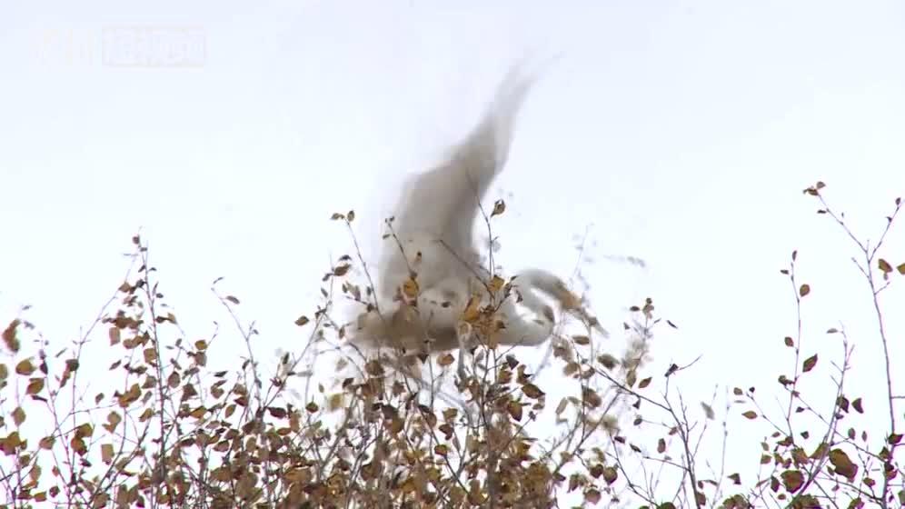"""视频:青海祁连首次拍摄到10只中白鹭""""做客""""人工"""