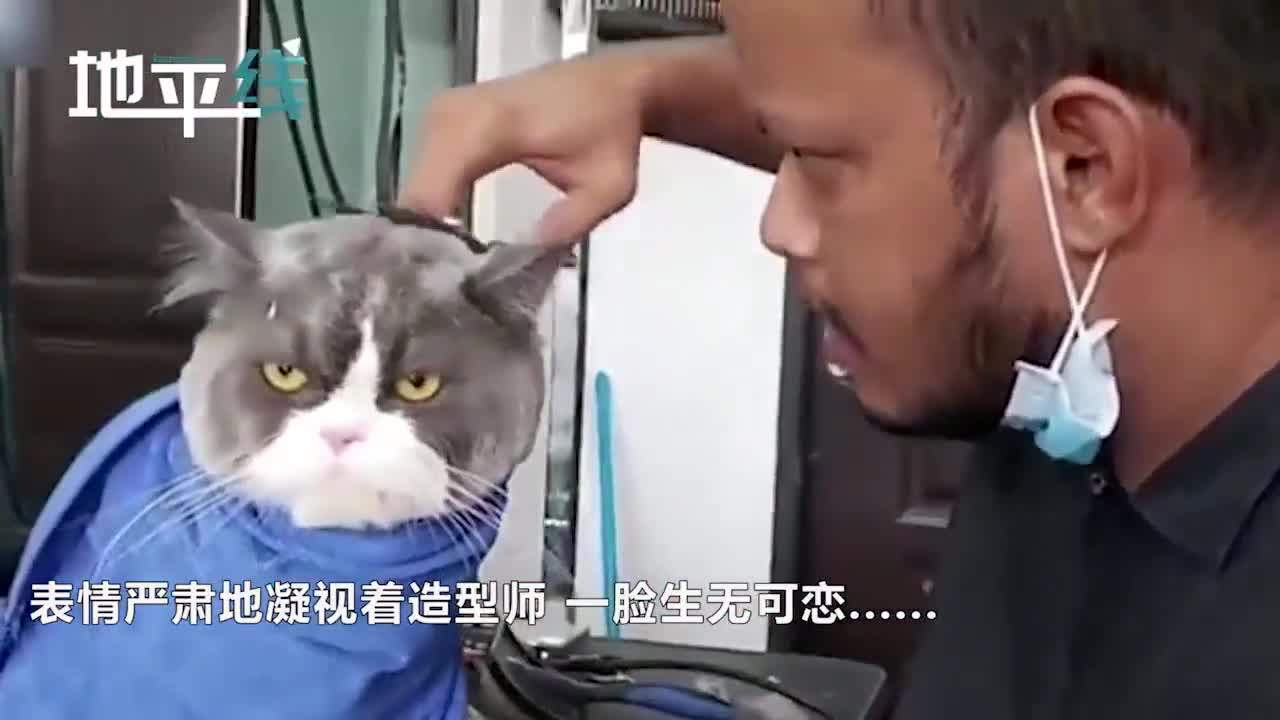 视频-猫咪被带去剪毛一脸生无可恋 造型师忍不住笑