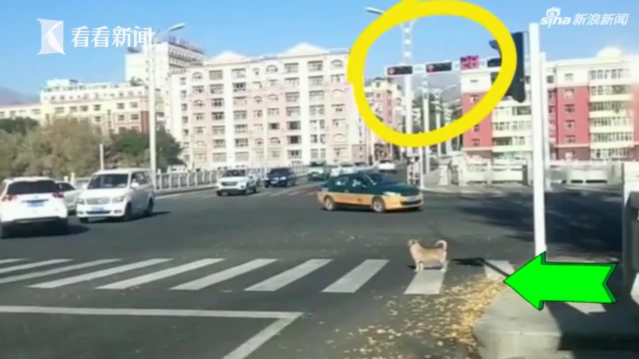 聪明小狗等绿灯过马路 网友:有些人都不如它