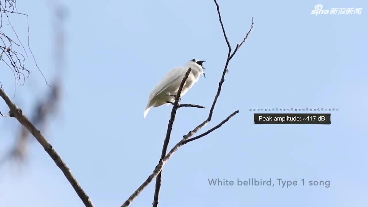 视频:世界上最响的鸟鸣声 几乎追上喷气式飞机噪音