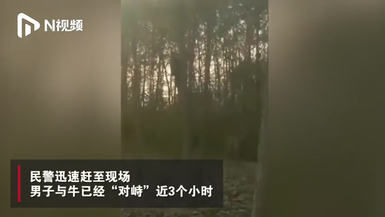 """视频-男子被""""疯牛""""怼上树对峙3小时 武警将牛当"""