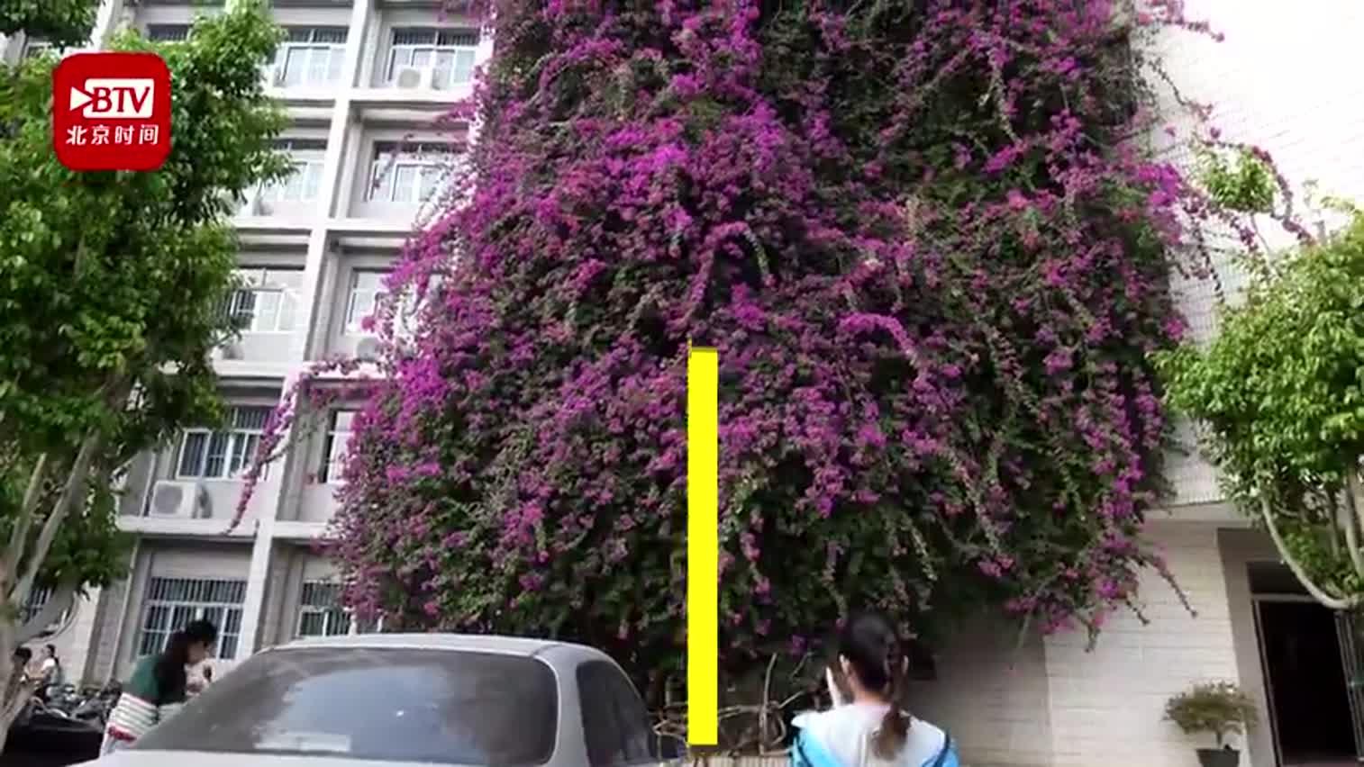 视频-巨无霸三角梅爬上7层高教学楼 似鲜花瀑布飞