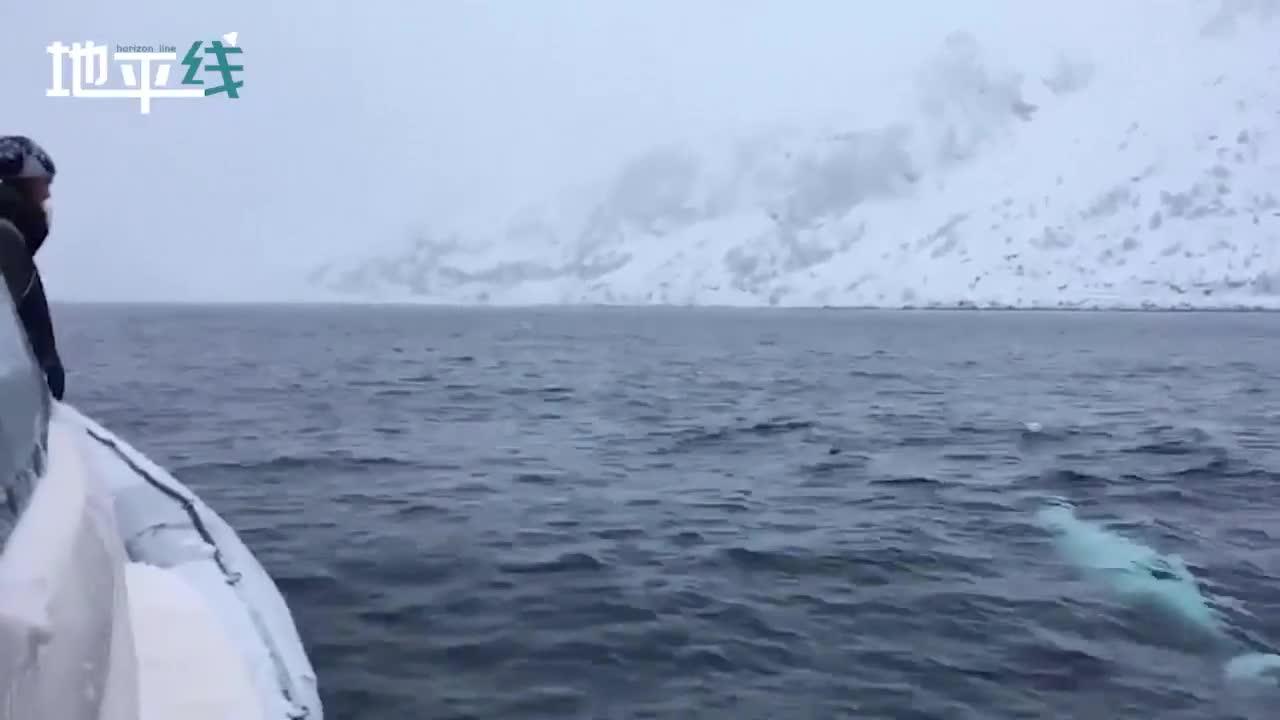 视频-船员向海面上扔球 白鲸的反应出乎意料