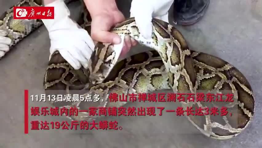 视频-近40斤巨蟒藏身天花板10年 6个成年男子