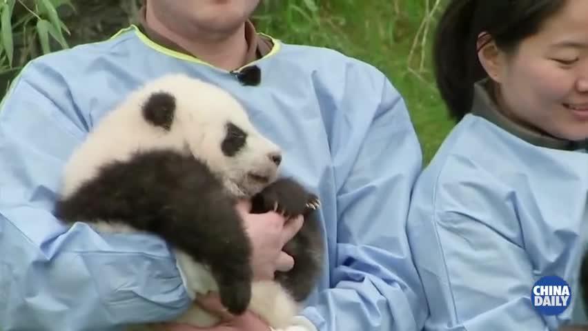 """视频-比利时大熊猫龙凤胎被正式命名为""""宝弟""""和"""""""