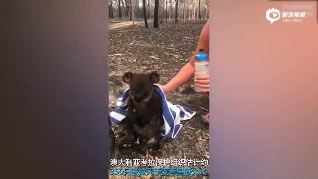 视频|心痛!澳大利亚森林大火致约350只考拉丧生