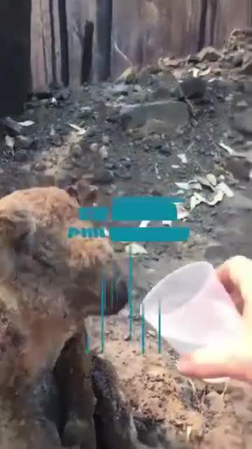 视频|澳洲山火肆虐!男子解救受伤考拉 暖心喂水画