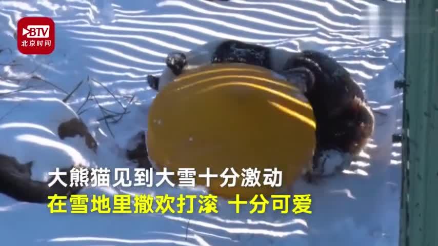 视频-熊猫初次见到大雪懵圈了 饲养员:愣了好久后