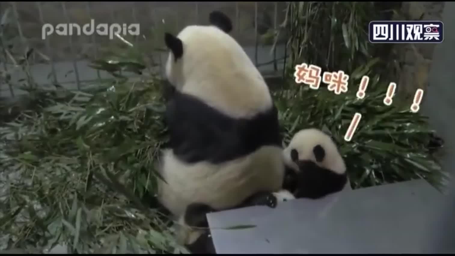 """视频:熊猫宝宝被妈妈一屁股压到 死命挣扎发出""""狗"""