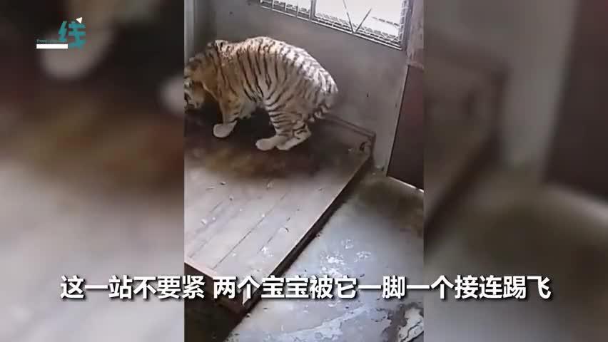 视频 老虎妈妈保护孩子起身示威 一脚一个把娃踢飞
