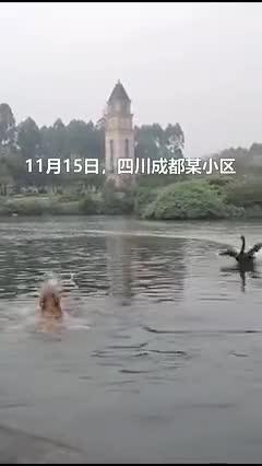 视频-金毛下湖游泳遭黑天鹅毒打 主人:这不是第一