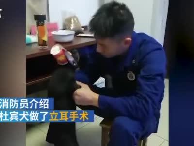 神操作![doge]#消防员将杜宾犬包扎成天线狗狗#